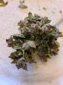 1st grow  Blueberry