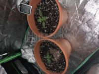 First Grow